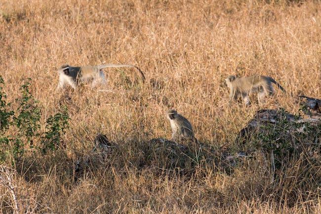 safari phinda
