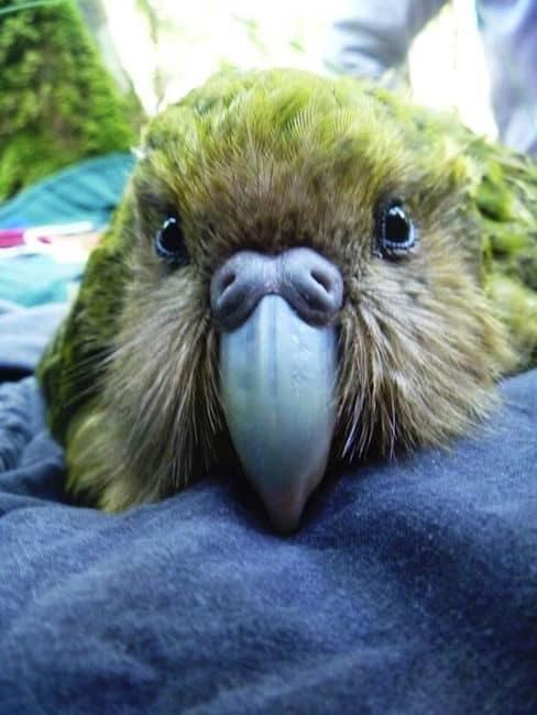 kakapo new zealand