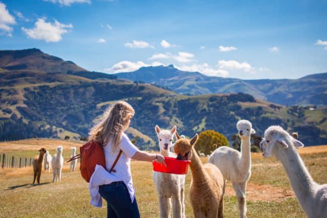 alpaca new zealand