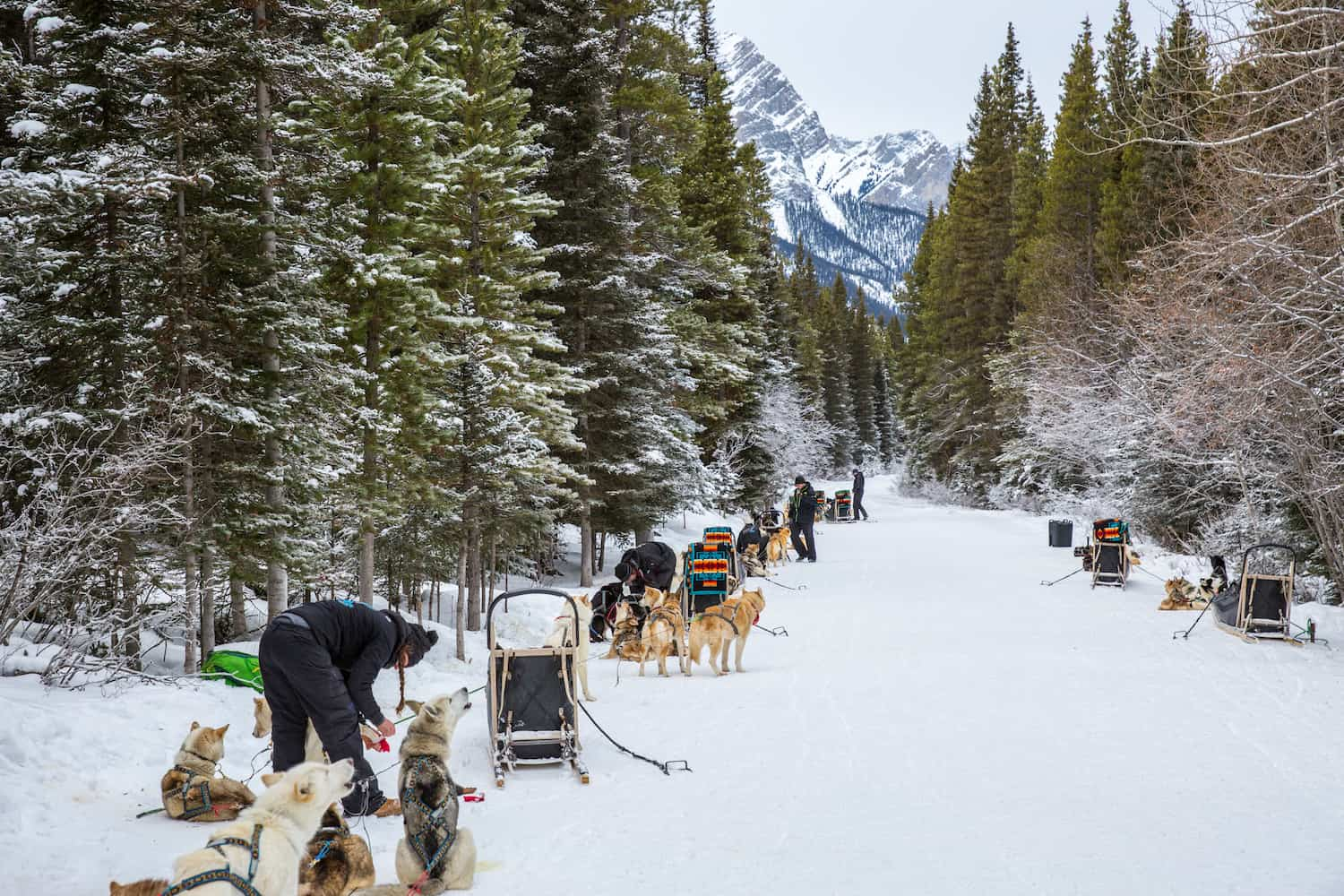 dogsledding alberta