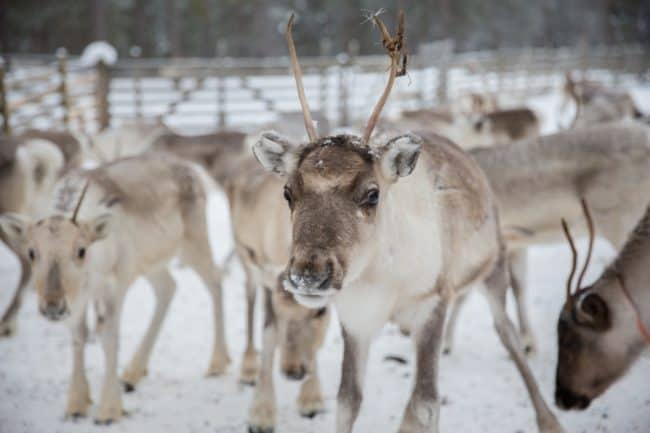 reindeer lapland finland