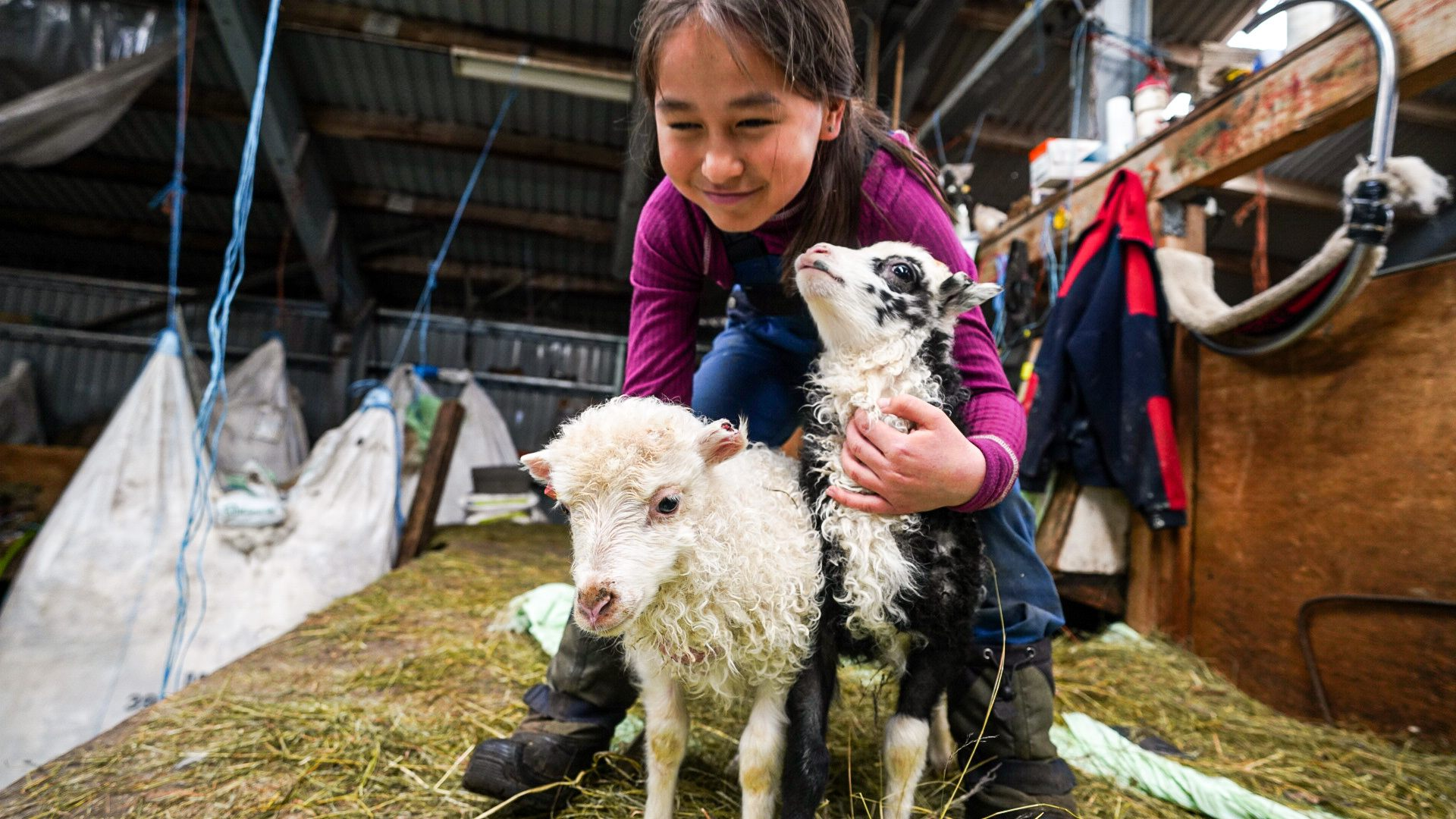 lambing in south greenland